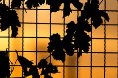 Plant on the fence at sunset. In the park in nature Stock Photo