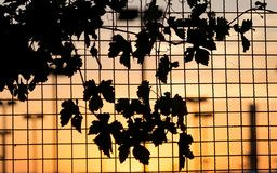 Plant on the fence at sunset. In the park in nature Stock Image