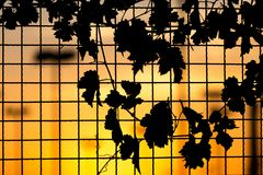 Plant on the fence at sunset. In the park in nature Royalty Free Stock Photo