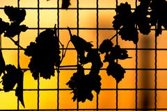 Plant on the fence at sunset. In the park in nature Stock Photos