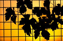 Plant on the fence at sunset.  Royalty Free Stock Photography