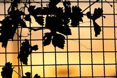 Plant on the fence at sunset. In the park in nature Stock Images