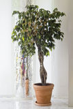 plant of Ficus benjamina Stock Photo