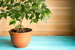 Plant ficus benjamina in a brown pot standing on wooden blue table in front of unpainted wall, natural rustic style.  royalty free stock images