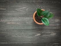 Plant ficus elastica on wooden background. Ficus elastica in a pot on a dark wood background, top view royalty free stock photos