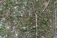 Plant - Ficus pumila Stock Image