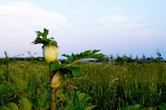 Dangerous plant - hogweed, dangerous! stock photos