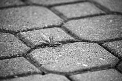 Plant finds a way to grow between paver stones Stock Photo