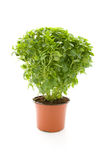 Plant of fine basil Stock Images