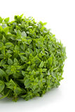 Plant of fine basil Royalty Free Stock Photo