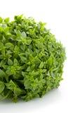 Plant of fine basil Royalty Free Stock Photo