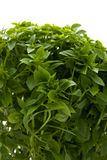 Plant of fine basil in closeup Royalty Free Stock Images