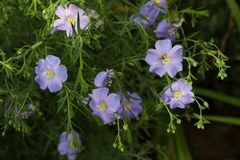 plant flax ordinary flowers buds leaves light blue close-up stock photo