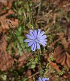 Plant, Flora, Chicory, Flower royalty free stock images