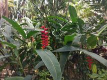 Plant, flora, vegetation, leaf, flower, heliconia, plantation. Plant is flora, flower and bromeliaceae. That marvel has vegetation, heliconia and shrub and that royalty free stock photo