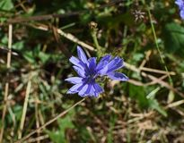 Plant, Flora, Flower, Chicory royalty free stock photography