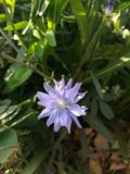 Plant, Flora, Flower, Chicory royalty free stock images
