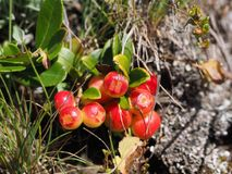 Plant, Flora, Fruit, Lingonberry stock images