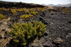 Plant flower  bush timanfaya  in los volcanes volcanic   lanzaro Stock Image