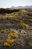 Plant flower  bush timanfaya  in los volcanes volcanic rock Royalty Free Stock Photos