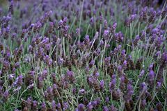 Plant, Flower, English Lavender, French Lavender royalty free stock photos