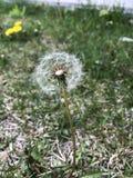 Plant, Flower, Flora, Dandelion