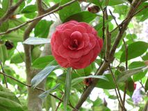 Plant, Flower, Flora, Japanese Camellia royalty free stock photo