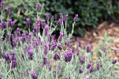 Plant, Flower, French Lavender, English Lavender stock photography