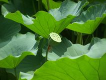 Plant, Flower, Leaf, Sacred Lotus royalty free stock photos
