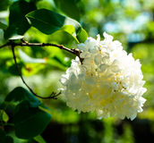 Plant flower lilac. Plant flower branch white lilac Stock Photos