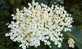 Plant, Flower, Nannyberry, Flowering Plant royalty free stock photos