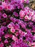 Plant, Flower, Pink, Shrub Royalty Free Stock Photos