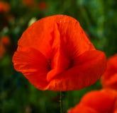 Plant flower poppy. Plant flower summer red poppy Stock Images