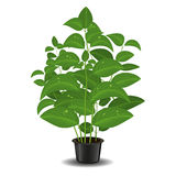 Plant in flower pot Royalty Free Stock Photo