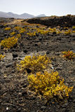 Plant flower  rock stone sky  hill and summer  lanzarote Royalty Free Stock Image