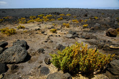Plant flower    timanfaya volcanic rock stone sky  hill   lanzar Royalty Free Stock Images