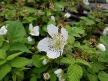 Plant, Flower, West Indian Raspberry, Flora stock photos