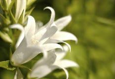 White flower bellflower close-up green bokeh background outdoor garden. Plant flower white bellflower green bokeh background blossom outdoor garden day macro royalty free stock photography
