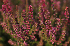 Plant of flowering heather. Close up Stock Photo