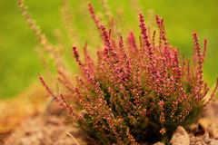 Plant of flowering heather. Plant of flowering pink heather Royalty Free Stock Images