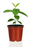 Plant in flowerpot Royalty Free Stock Photography