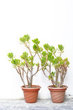 Plant in flowerpot. On white wall royalty free stock image