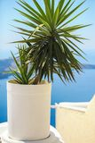 Plant in a flowerpot against the sea in Santorini Royalty Free Stock Photo