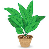Plant in Flowerpot  on White Royalty Free Stock Image