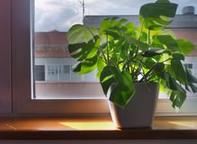 Plant in a flowerpot on the window sill Royalty Free Stock Photo