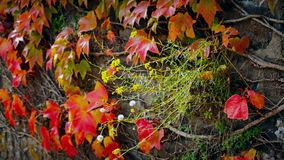 Plant with flowers on beautiful autumn fence of red ivy leaves. Close up of plant with flowers on beautiful autumn fence of red ivy leaves stock video footage