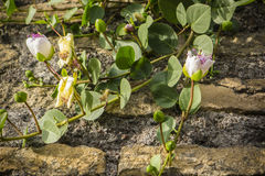 Plant with flowers of Capparis spinosa, caper bush. Stock Photos