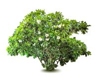 Plant with flowers and leaves. Decorative tree. Royalty Free Stock Images