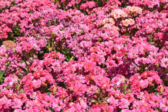 Plant Flowers - Pink Kalanchoe blossfeldiana is flowers background Royalty Free Stock Photos