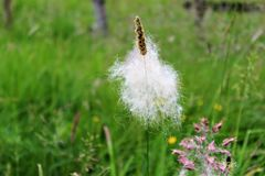 Plant with fluff. Blowing in a breeze Royalty Free Stock Image